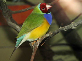 Фото Diamante de Gould