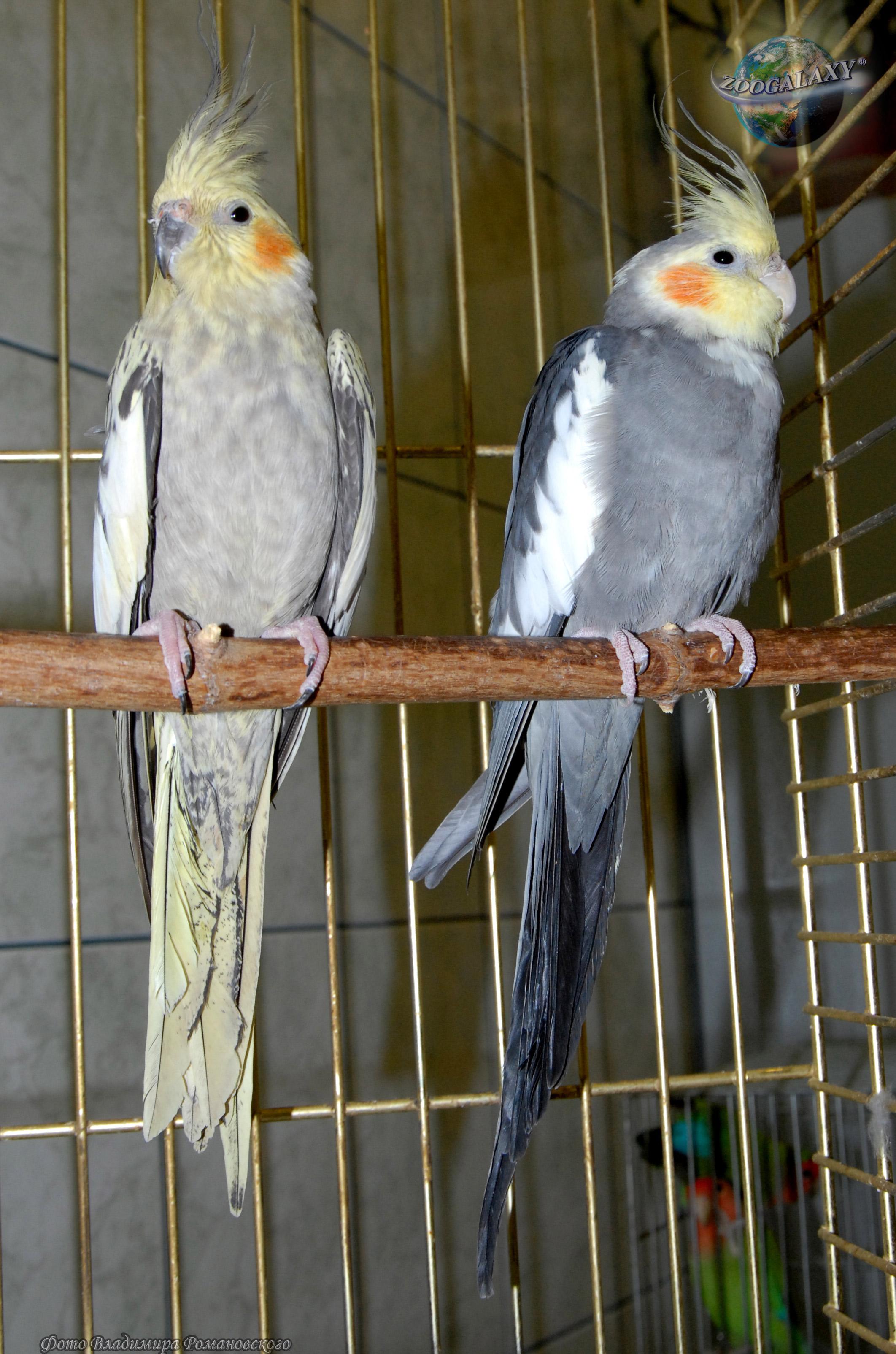 Попугаи корелла: особенности содержания в домашних условиях 81