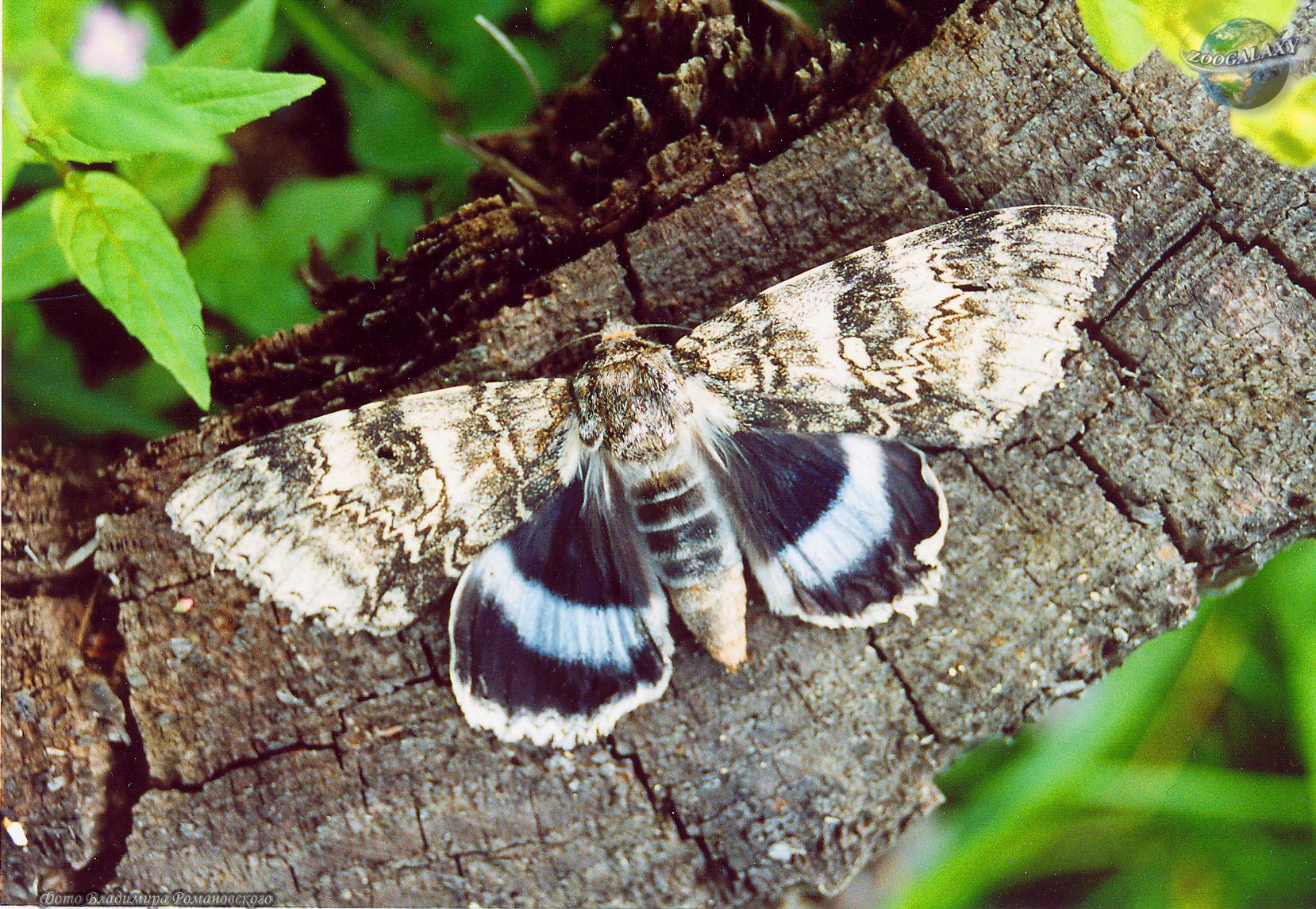 http://zoogalaxy.net/assets/images/invertebrata/arthropoda/insecta/lepidoptera/noctuidae/catocala-fraxini/catocala-fraxini_01_zoogalaxy.jpg