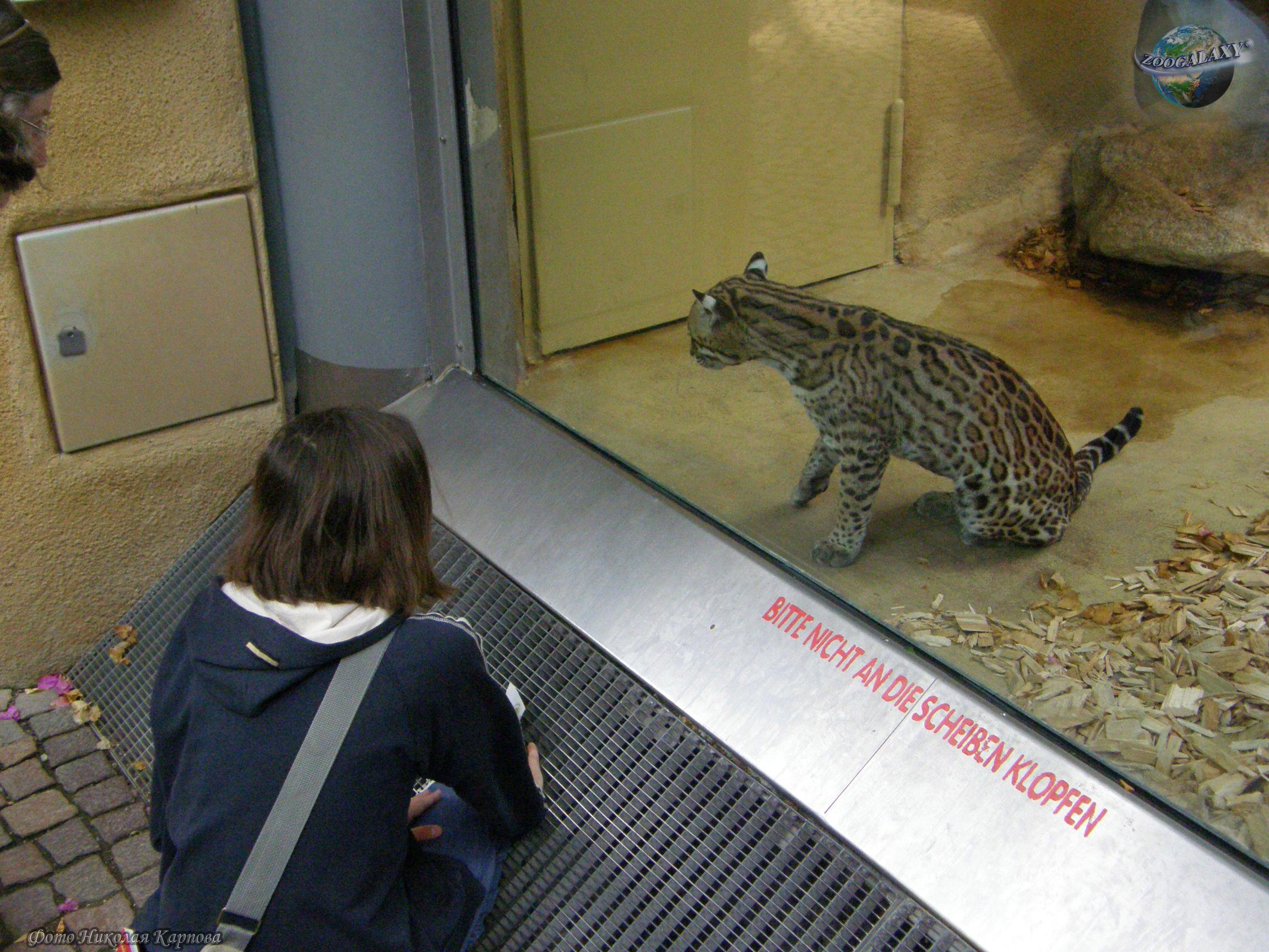 Ocelot | Photos and descriptions of animals | an educational