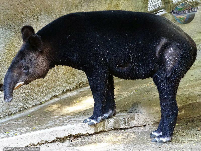 http://zoogalaxy.net/assets/images/mammalia/perissodactyla/tapirus-pinchaque/tapirus-pinchaque_02_zoogalaxy.jpg