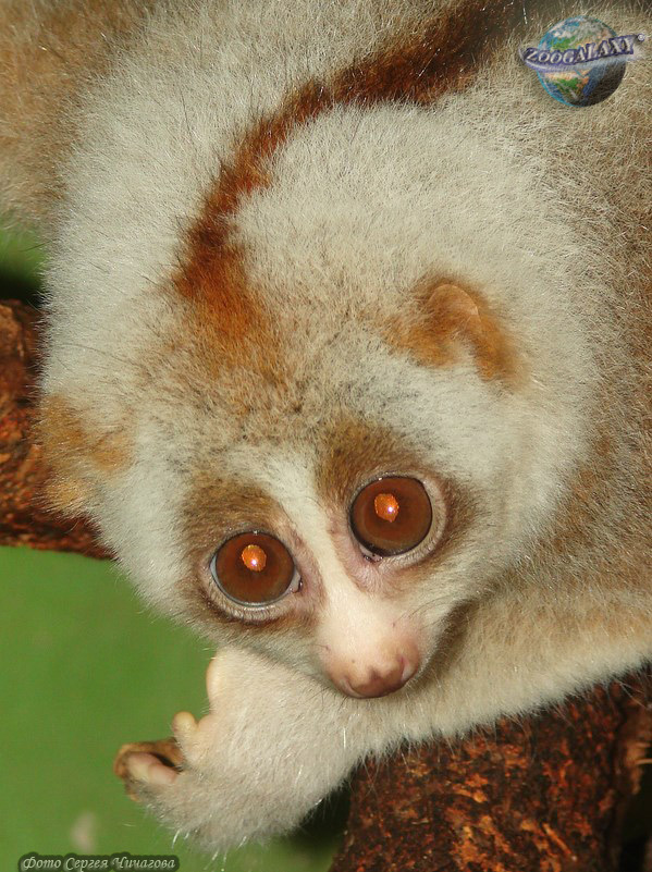 bengal slow loris reasons for endangerment Geographic distribution and habitat the bengal slow loris is a native of southeastern asia, residing in the countries of bangladesh, cambodia, vietnam, lao people's democratic republic, thailand, burma (myanmar), northeastern india, and southern china.