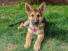 Фото German Shepherd