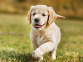 Фото Golden Retriever