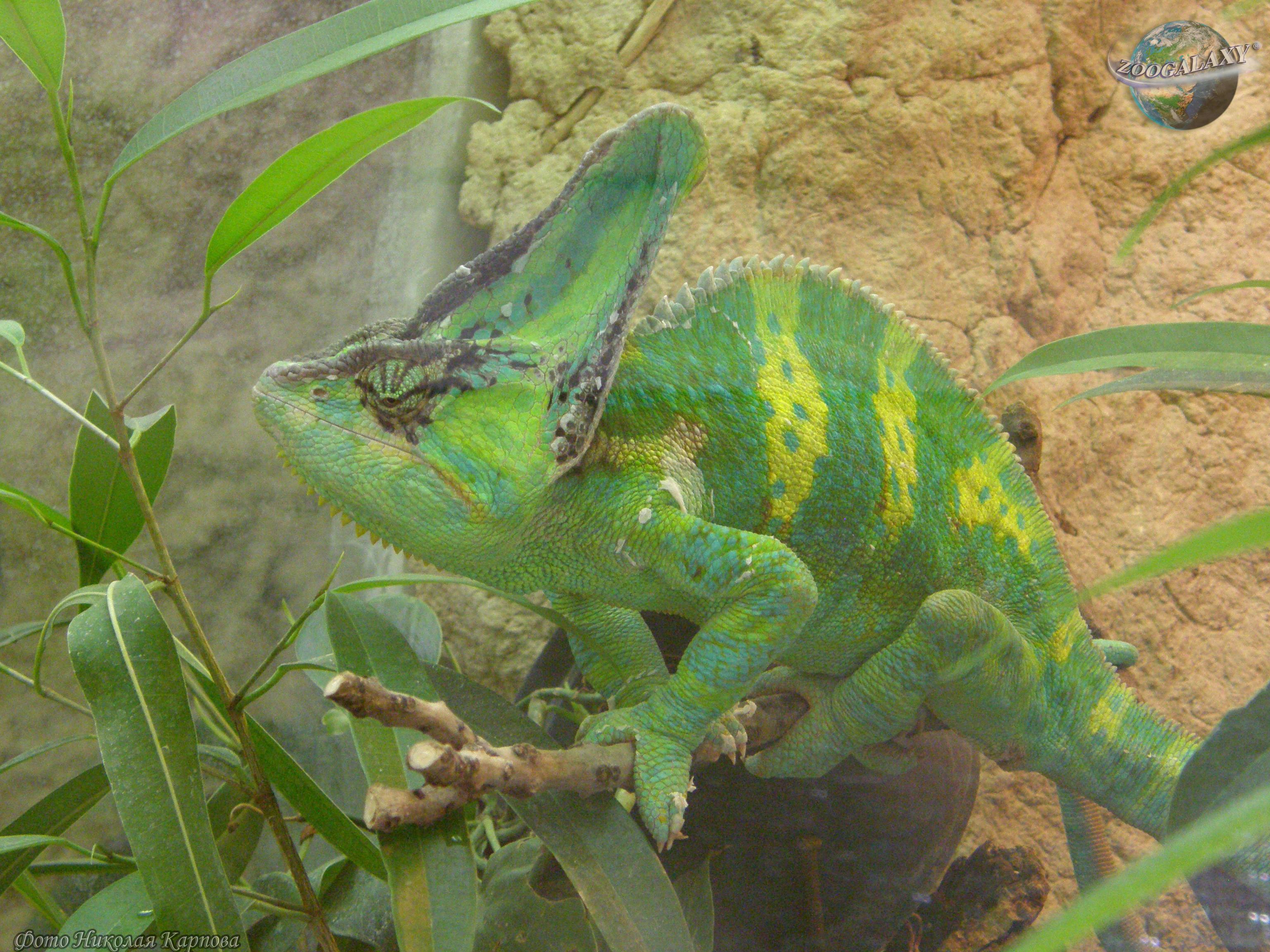 Хамелеон описание, виды, чем питается, где обитает, фото 9
