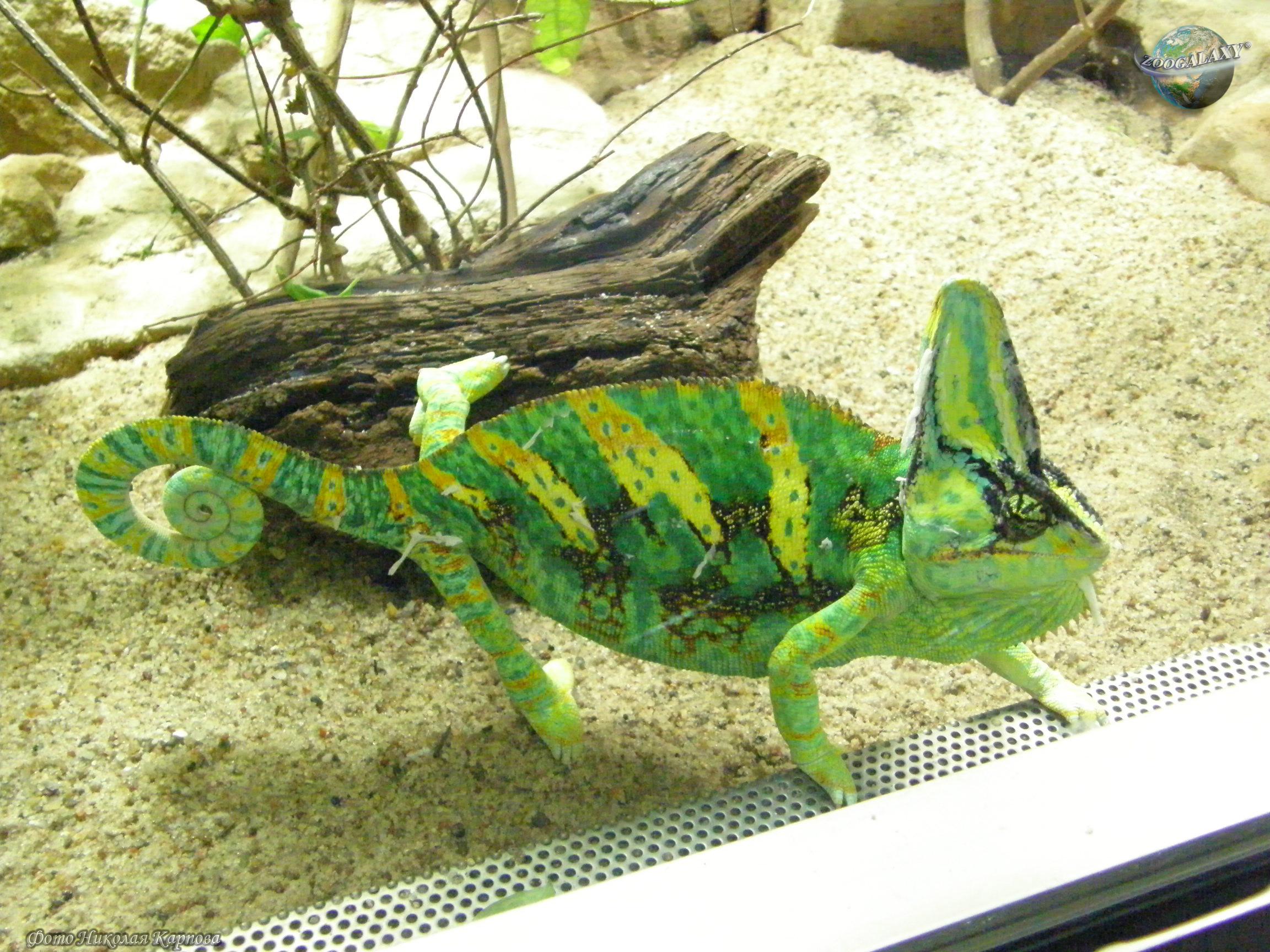 Хамелеон описание, виды, чем питается, где обитает, фото 23